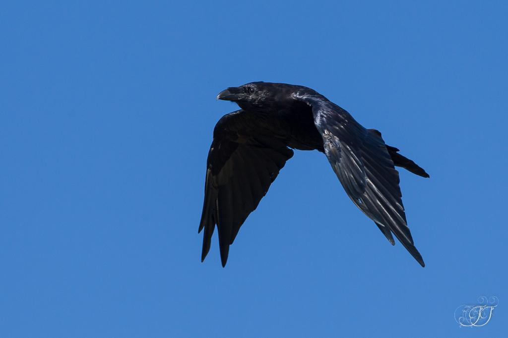 poème-oiseau-noir
